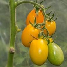 Preview tomatejapanischesei