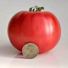 Preview tomatemcclintock sbigpink