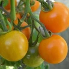 Preview tomateenglandorange