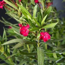 Preview nerium oleander web 02 origin img