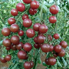 Preview cocktailtomate black cherry