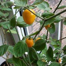 Preview gelbe baumchili capsicum pubescens rocoto canario 1