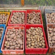 Preview rotschalige kartoffeln 1