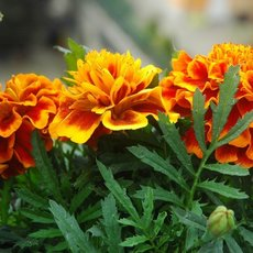 Preview zwergtagetes 1