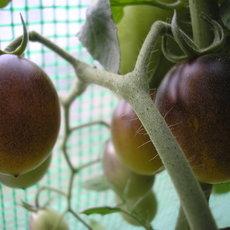 Preview indigo kumquat1