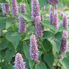 Preview aghb 0 agastache honey bee blue.1491336297