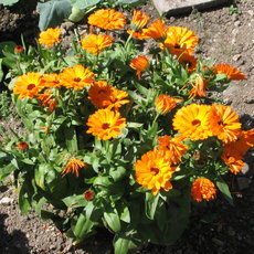 Preview calendula officinalis 3517