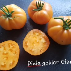 Preview dixie golden giant