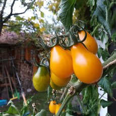 Preview yellow pear tomate