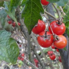 Preview solanum lycopersicum rote murmel  30.09.19 rike viii