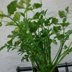 Preview apium graveolens var. secalinum  schnittsellerie  22.08.13 i
