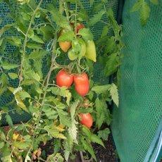 Preview solanum lycopersicum  rote zora  07.09.15 wanda i