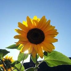 Preview sonnenblumen2