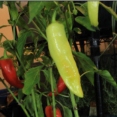 Preview hungarian wax chili