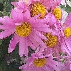 Preview chrysantheme 2