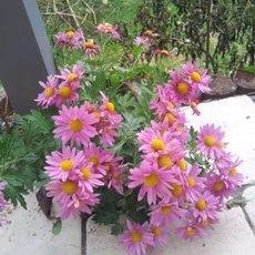 Preview chrysantheme