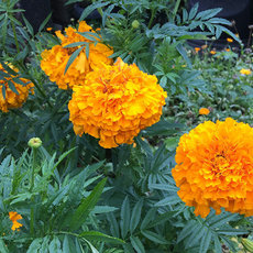Preview tagetes