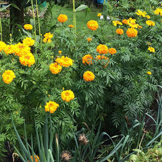 Preview tagetes xxl