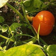 Preview pumpkin 696336  340