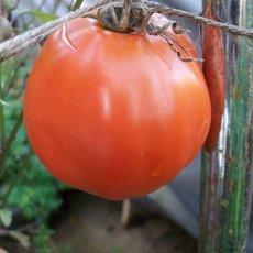 Preview solanum lycopersicum  ochsenherz  02.10.19 rike i