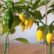 Preview yellow lemon 2