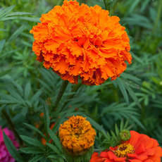 Preview african marigold kees orange seeds