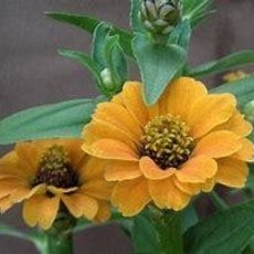 Preview zinnia peruviana