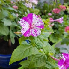 Preview k mirabilis pink weii%c3%9f 2018  1