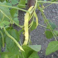 Preview phaseolus vulgaris neckargold 23.07.20 rike v