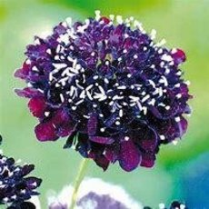 Preview scabiose  bunt