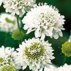 Preview scabiose  wei%c3%9f