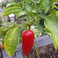Preview paprika rot spitz s