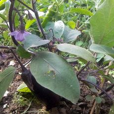 Preview aubergine