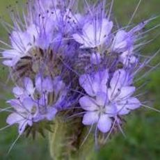 Preview phacelia